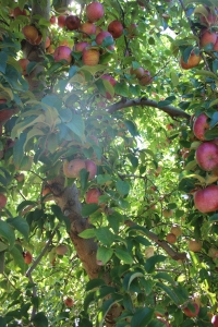 apples 260