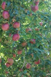 apples 269