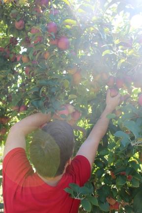 apples 273