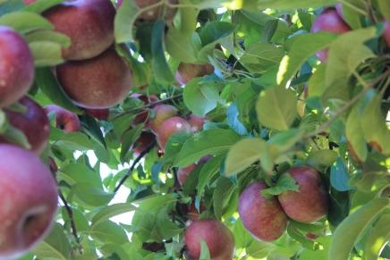 apples 294