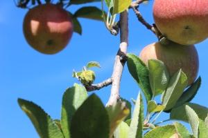 apples 307