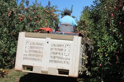 apples 314